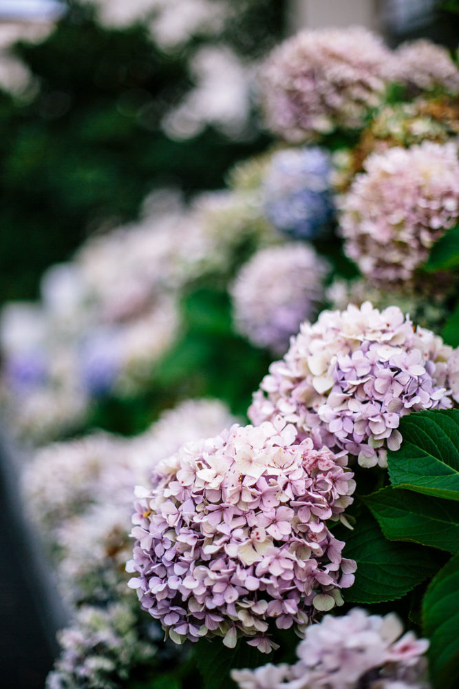 Hortensias - Biarritz, France - Bloomers.eco
