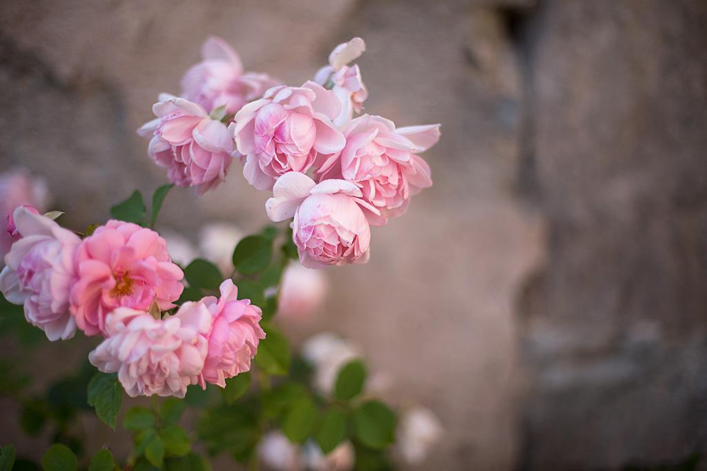 Roses | Bloomers.eco (Château de Coppet, Suisse)